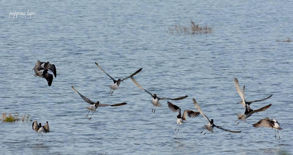 Chiurlo-piccolo-birdwatching-salina-trinitapoli-foto-di-peppino-lupo
