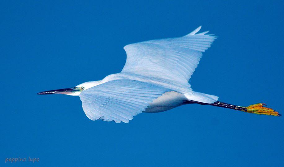 Garzetta-birdwatching-salina-trinitapoli-foto-di-peppino-lupo