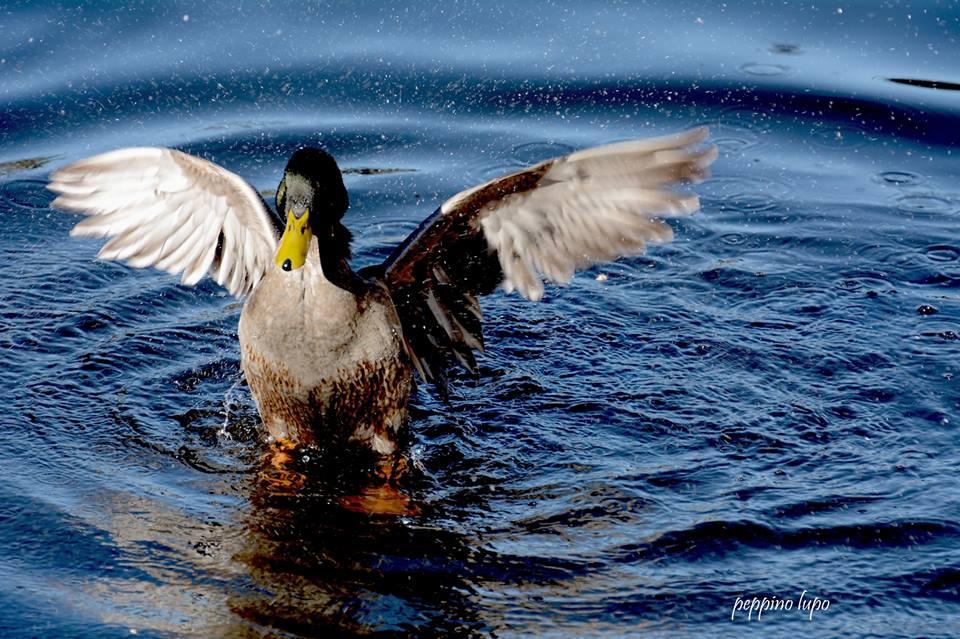 Germano-maschio-birdwatching-salina-trinitapoli-foto-di-peppino-lupo