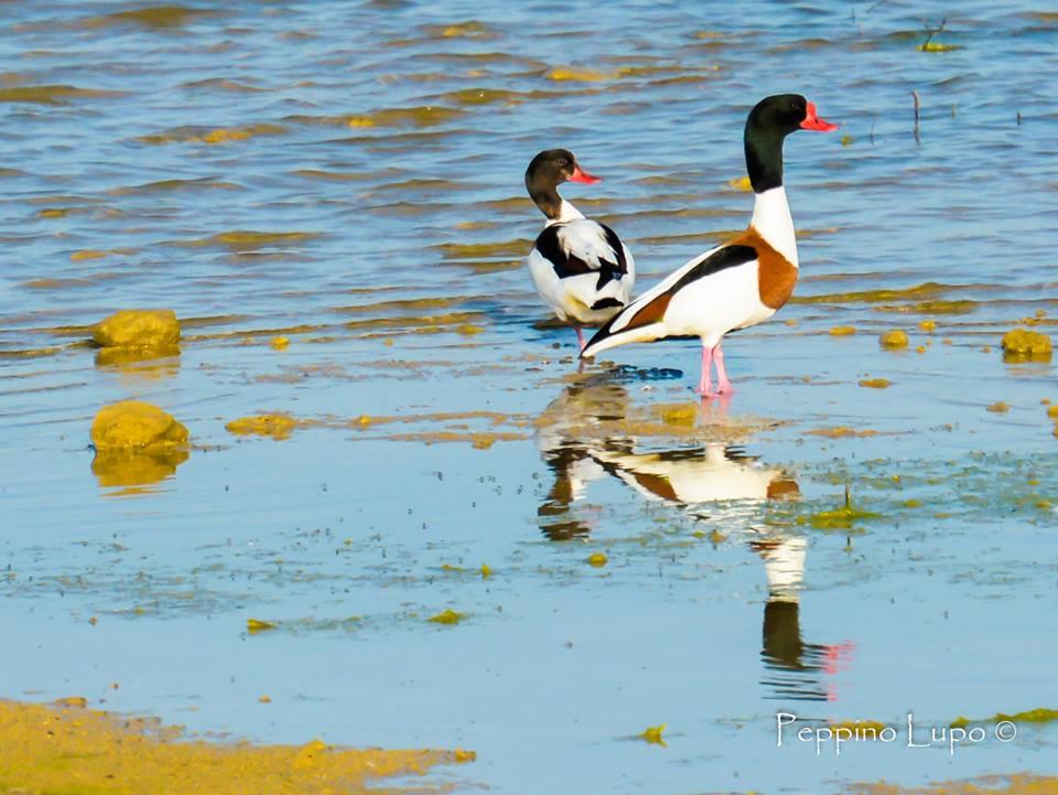 Volpoche-birdwatching-salina-trinitapoli-foto-di-peppino-lupo