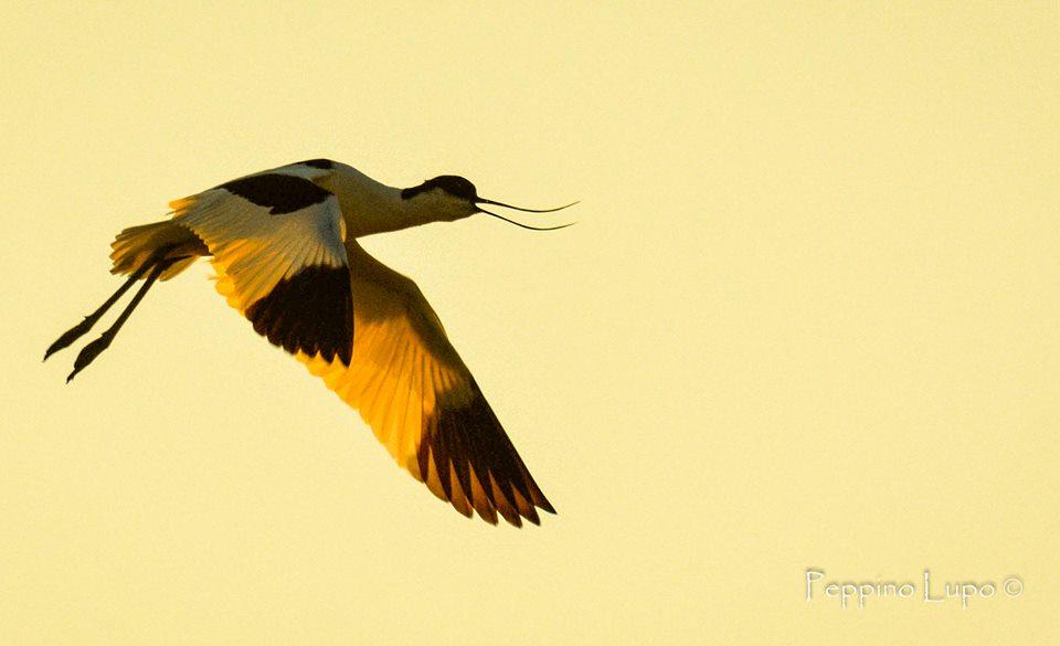 avocetta-in-volo-birdwatching-salina-trinitapoli-foto-di-peppino-lupo