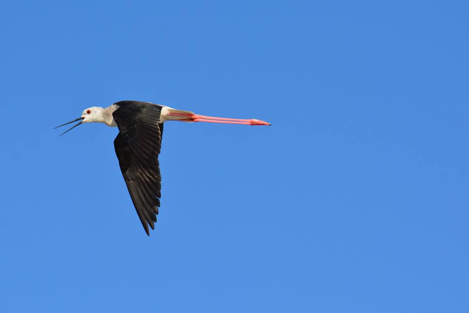cavaliere-d-Italia-birdwatching-salina-trinitapoli-foto-di-peppino-lupo