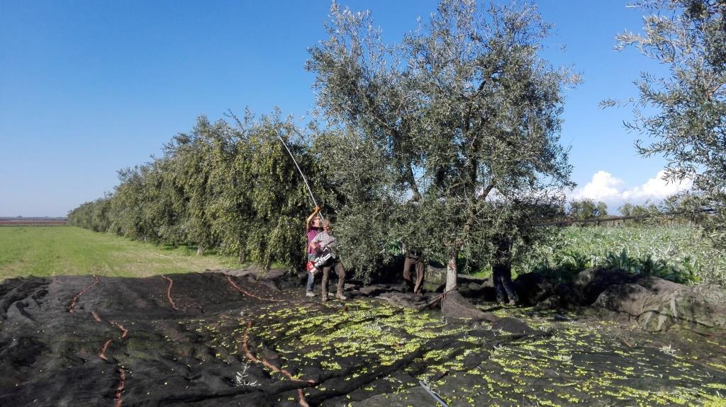 raccolta-olive-trinitapoli Foto di Giuseppe Beltotto